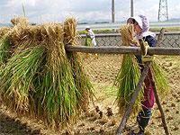 3. 手作業でハゼにお米を掛けます。